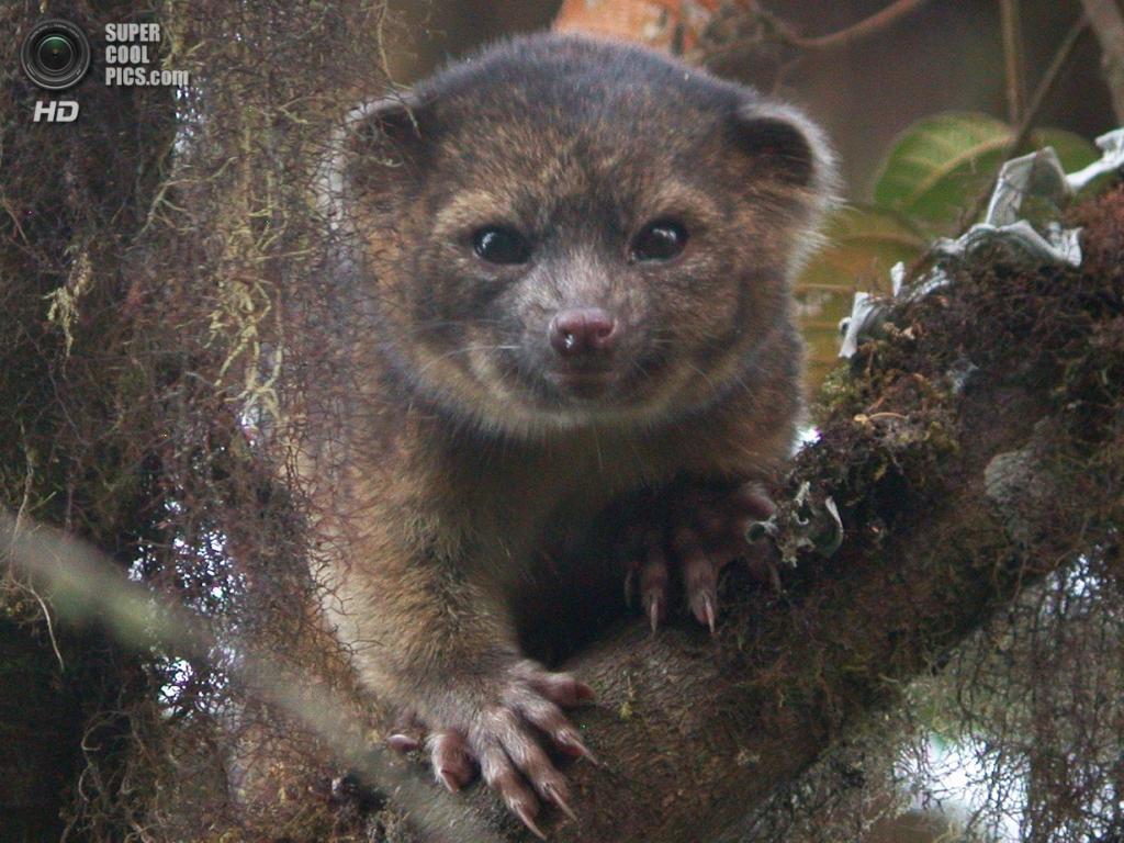 Олингито — неизвестный ранее вид млекопитающих, найденный в тропических лесах на северо-западе Южной Америки. На сегодняшний день известно, что животное обитает в лесах от центральной Колумбии до западного Эквадора, ведёт ночной образ жизни, питается фруктами. (Mark Gurney/Smithsonian Institute) — Пост на сайте