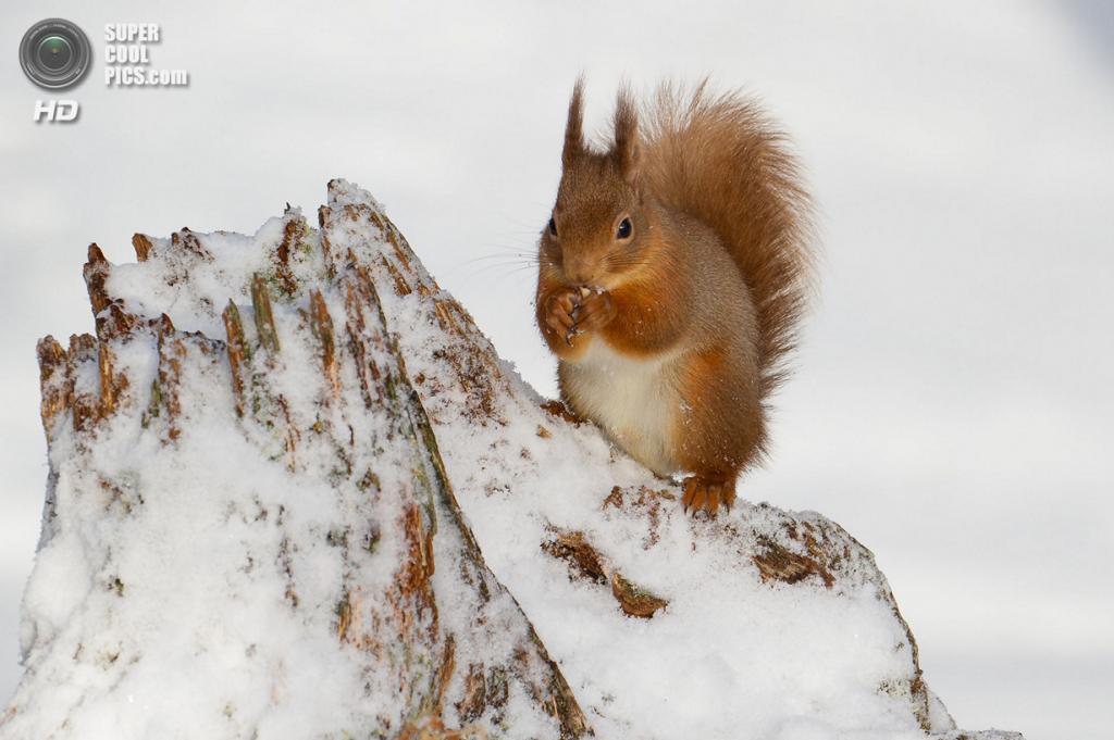 Белка в снегу. (Fiona Gavin/Scottish Seabird Centre)