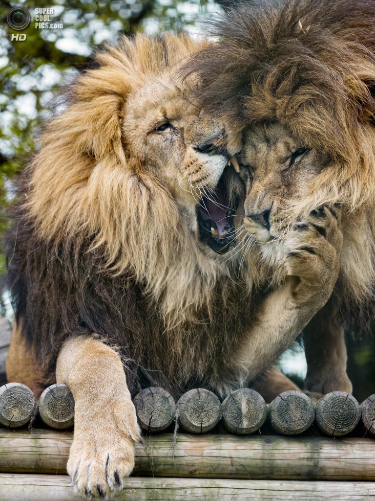 львы картинки классные незатейливое, первый