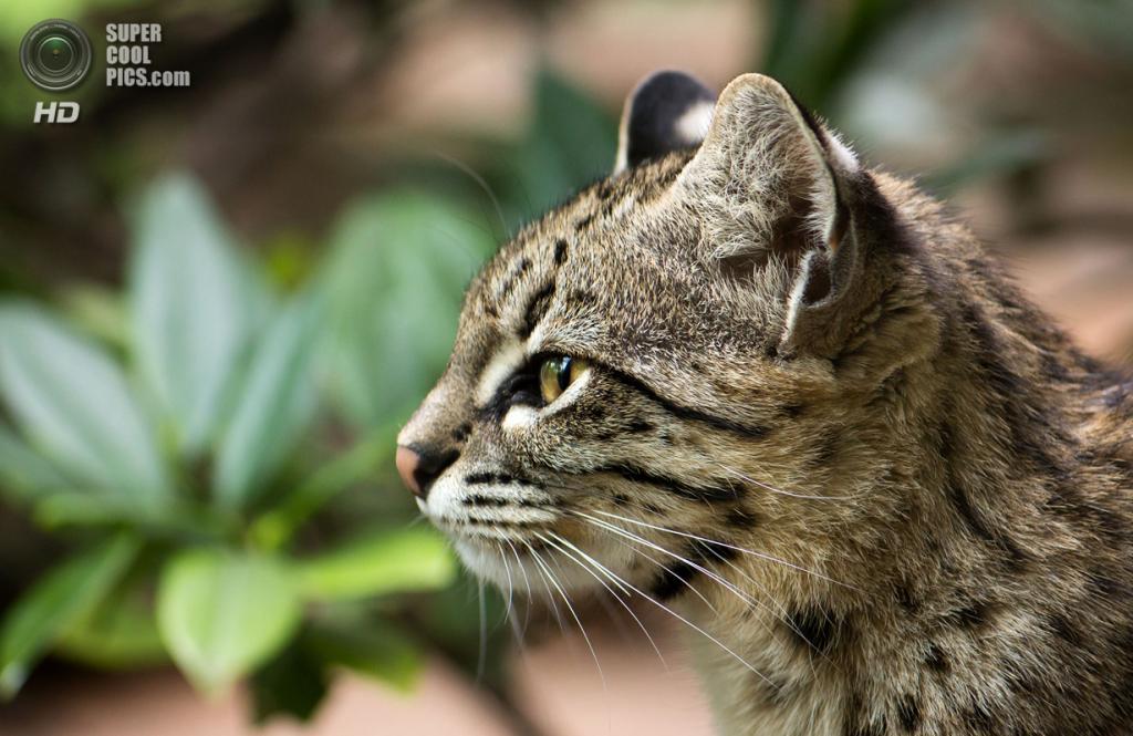 Кошка Жоффруа. (Cloudtail)