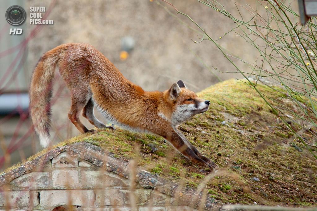Рыжая лисица, или обыкновенная лисица. (Ralph.Emerson1)