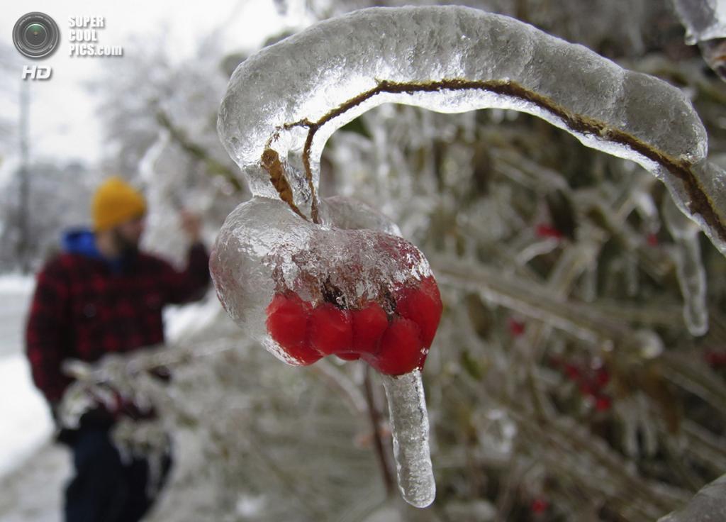 Канада. Торонто, Онтарио. 22 декабря. Ягоды рябины в ледяной оболочке. (REUTERS/Gary Hershorn)
