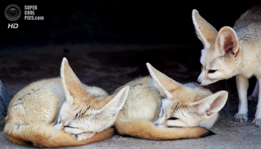 Южная Корея. Йонъин, Кёнгидо. Фенеки в зоопарке Эверленд. (In Cherl Kim)