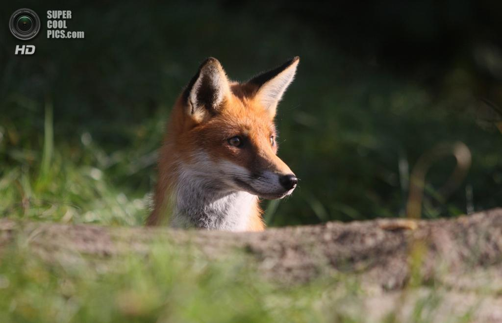 Рыжая лисица, или обыкновенная лисица. (Gary Mann)