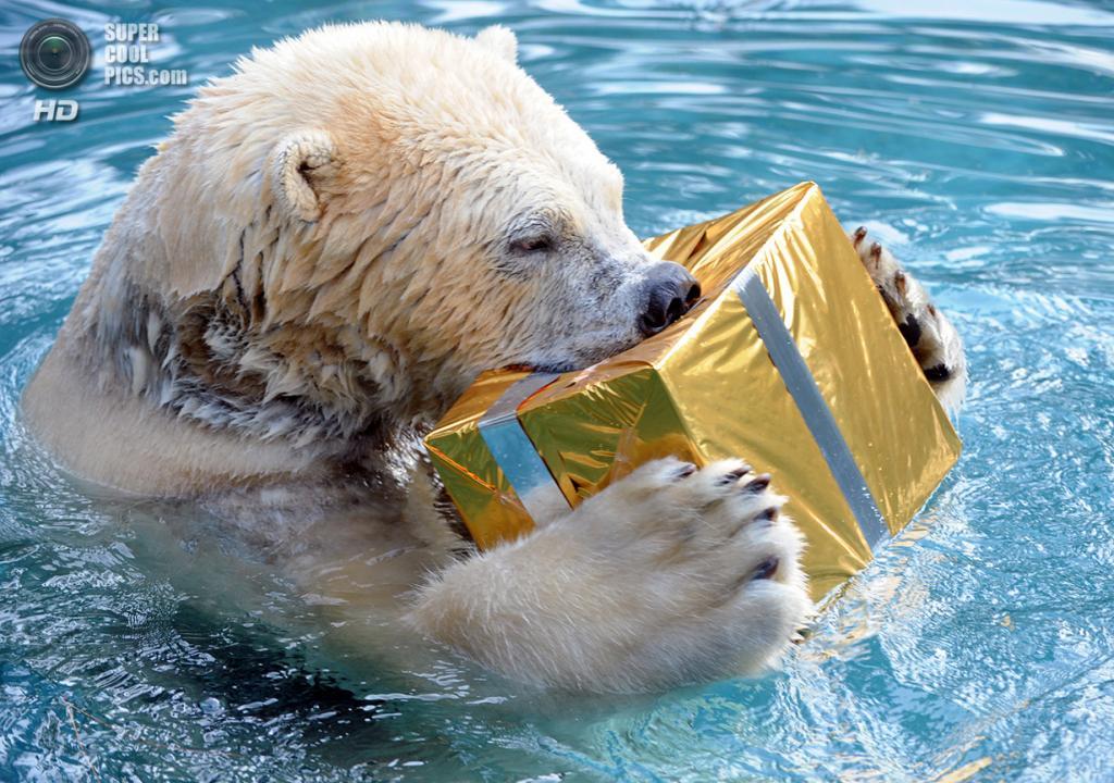 Франция. Ла-Флеш, Сарта, Страна Луары. 23 декабря. Угощение для белого медведя в зоопарке, завёрнутое в стиле рождественского подарка. (Jean-Francois Monier/AFP/Getty Images)