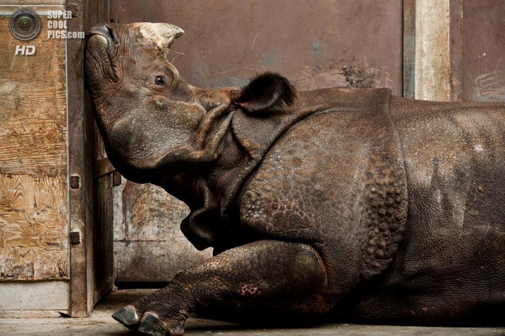 «Поощрительный приз». Индийский носорог в вольере Торонтского зоопарка скучает по дому. Место съемки: Канада. Торонто, Онтарио. (Stephen De Lisle/National Geographic Photo Contest)
