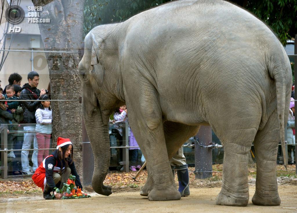 Япония. Токио. 23 декабря. Слон. (YOSHIKAZU TSUNO/AFP/Getty Images)