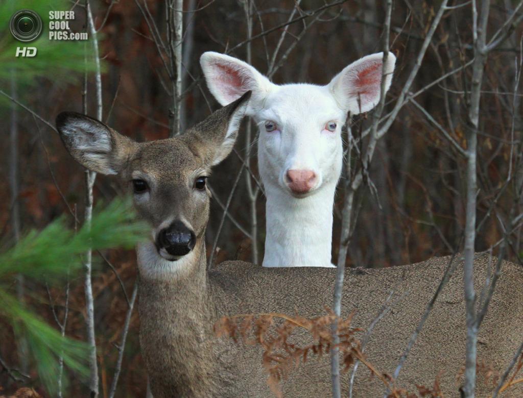 Животные-альбиносы. (Michael)