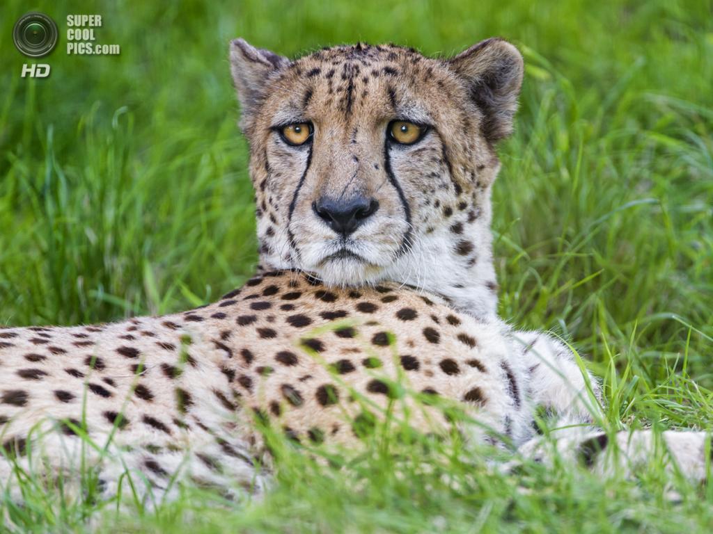 Гепард. (Tambako The Jaguar)