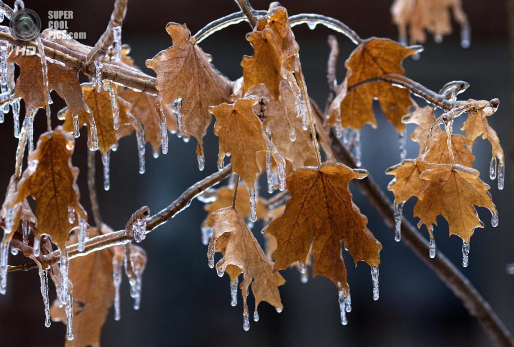 Канада. Торонто, Онтарио. 22 декабря. Изморозь на листьях. (REUTERS/Bob Strong)