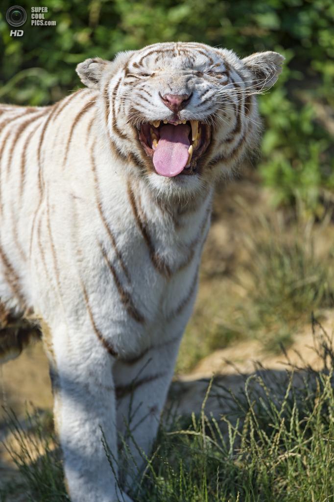Белый тигр. (Tambako The Jaguar)