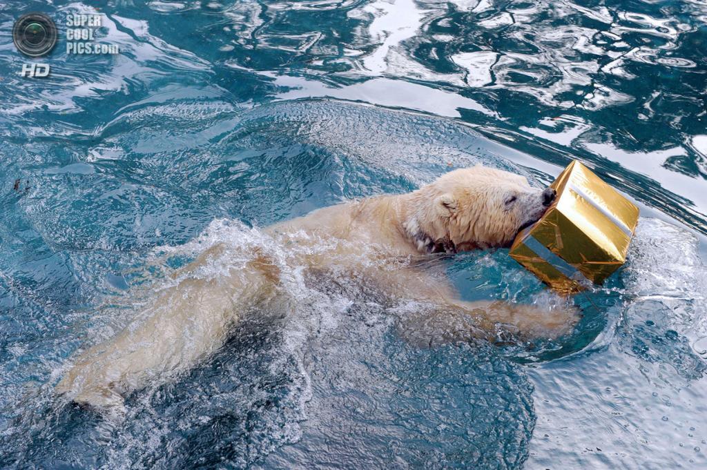 Франция. Ла-Флеш. 23 декабря. Белый медведь. (JEAN-FRANCOIS MONIER/AFP/Getty Images)