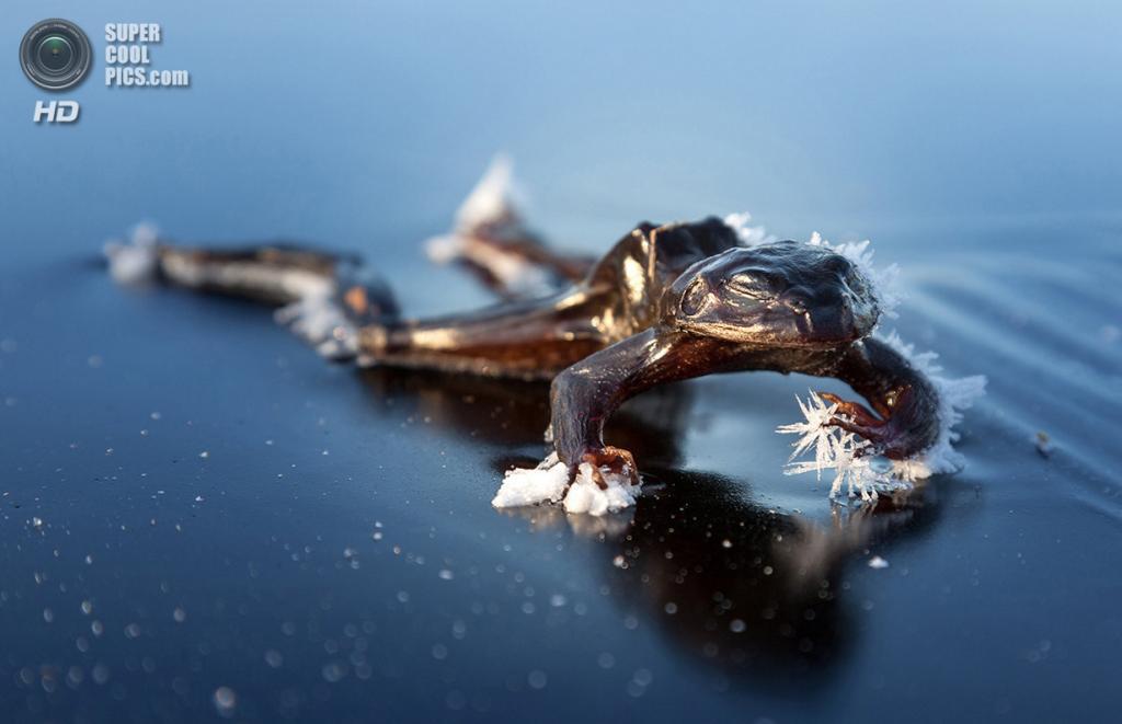 «Замёрзшая лягушка». Место съемки: Норвегия. Осло. (Svein Nordrum/National Geographic Photo Contest)