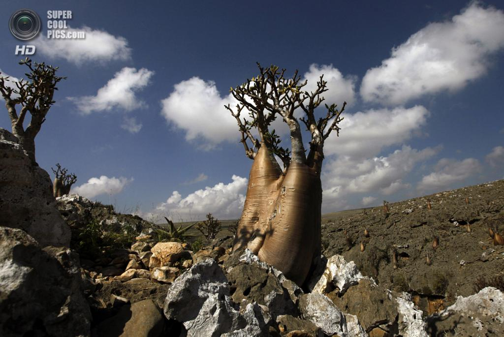 Адениум тучный. (REUTERS/Mohamed al-Sayaghi)