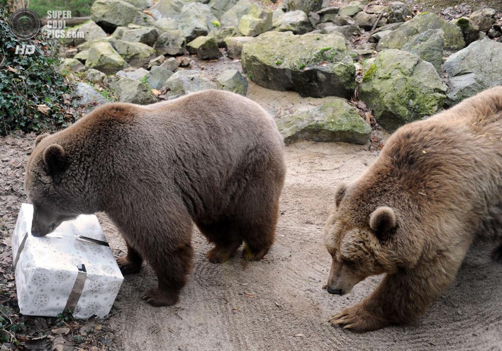 Франция. Ла-Флеш. 23 декабря. Бурые медведи. (JEAN-FRANCOIS MONIER/AFP/Getty Images)