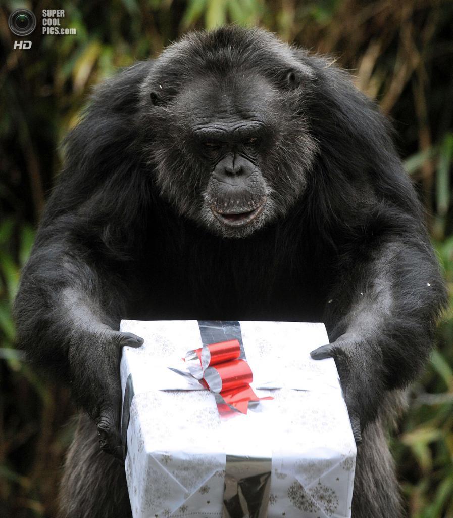 Франция. Ла-Флеш. 23 декабря. Шимпанзе. (JEAN-FRANCOIS MONIER/AFP/Getty Images)