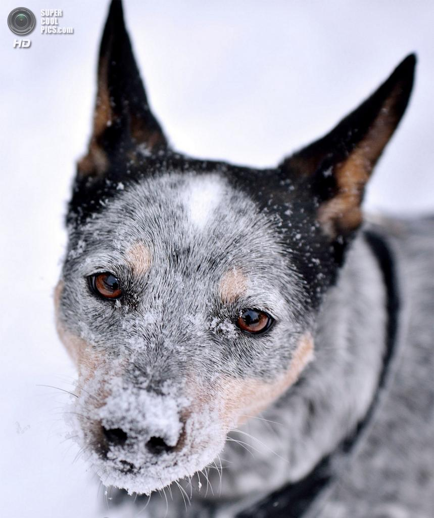 Снег — собачье счастье. (Jacqueline Verdun)