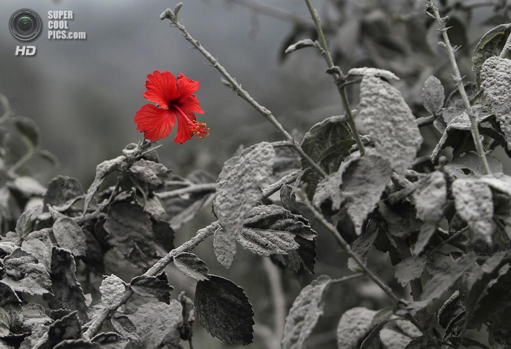 Индонезия. Мардингдинг, Северная Суматра. 19 ноября. Гибискус в вулканическом пепле после извержения вулкана Синабунг. (REUTERS/Roni Bintang)