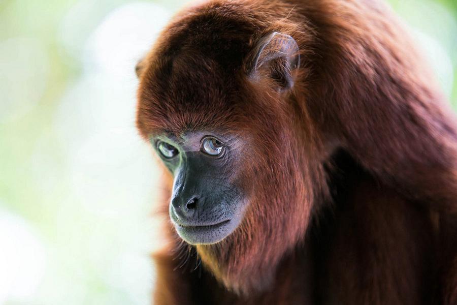 «Застенчивый рыжий ревун». Место съемки: Тринидад и Тобаго. (Quinten Questel/National Geographic Photo Contest)
