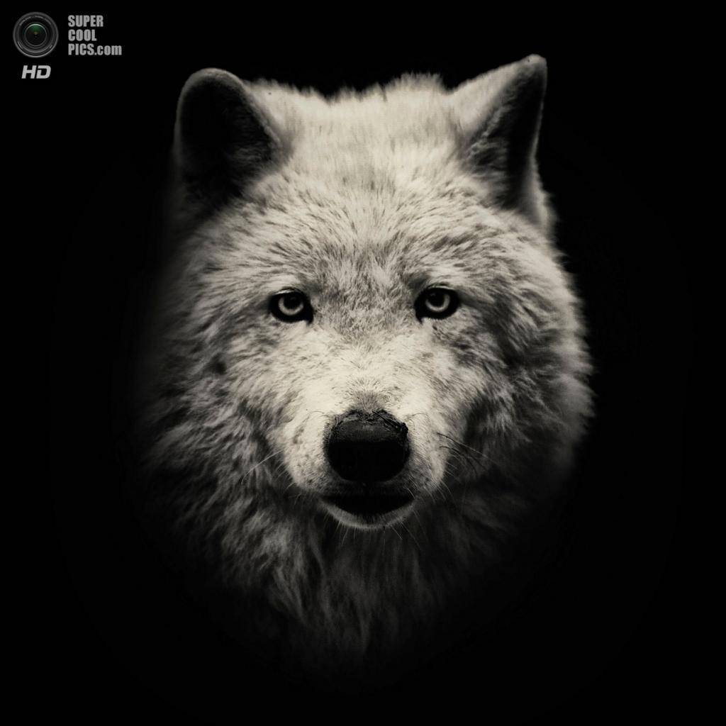 Мелвильский островной волк. (AlexTeuscher/BNPS)
