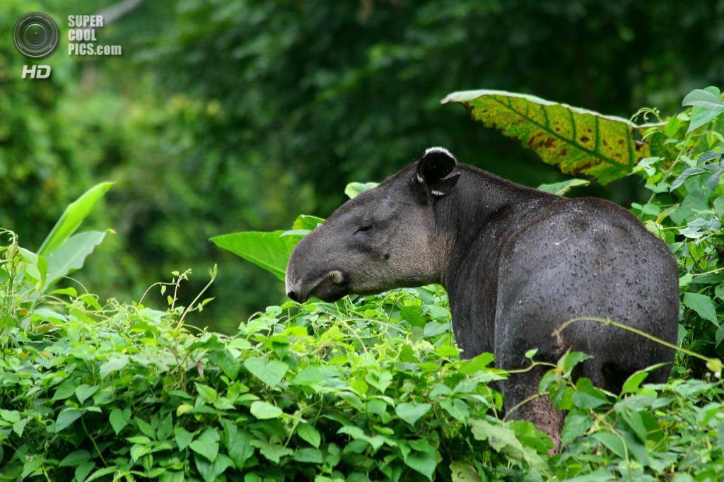 Тапиры. (Otto Monge)