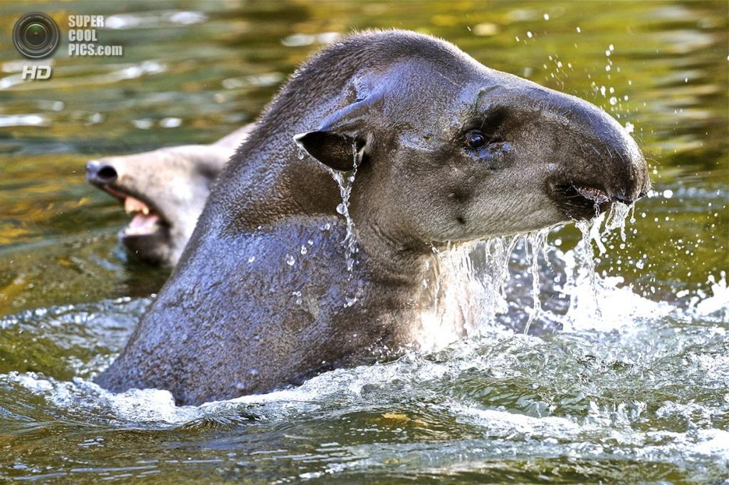 Тапиры. (Josef Gelernter)