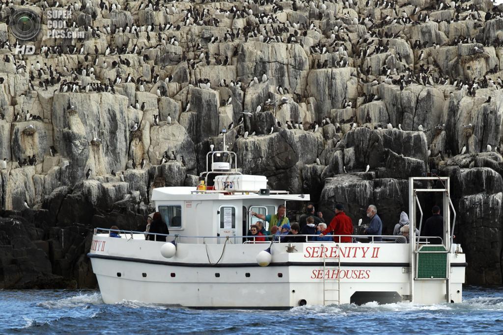 Великобритания. Фарне, Нортамберленд, Англия. 24 июня 2011 года. Туристы подплывают поближе к островам для близкого знакомства с тонкоклювой кайрой. (Dan Kitwood/Getty Images)