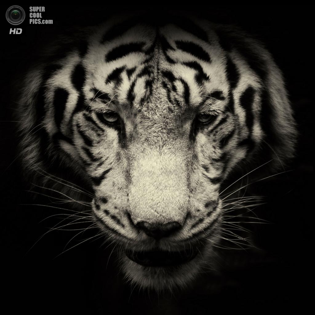 Белый тигр. (AlexTeuscher/BNPS)