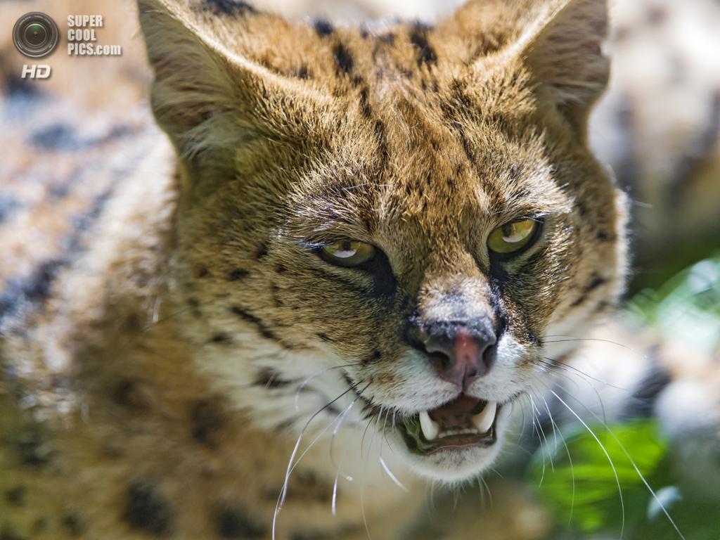 Сервал. (Tambako The Jaguar)