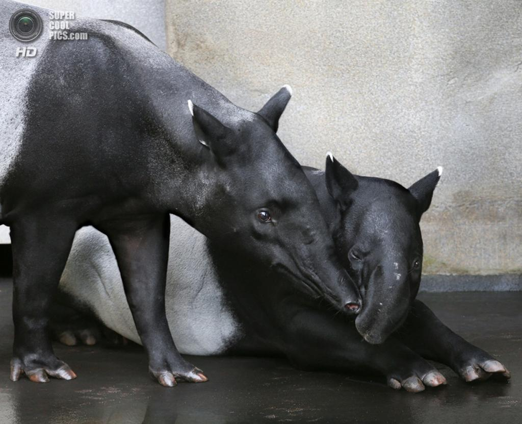 Тапиры. (Klaus Wiese)