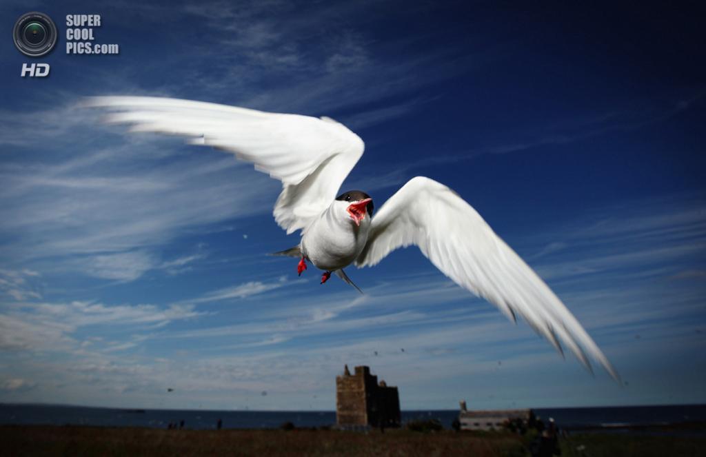 Великобритания. Фарне, Нортамберленд, Англия. 24 июня 2011 года. Полярная крачка защищает своё гнездо от назойливых глаз. (Dan Kitwood/Getty Images)