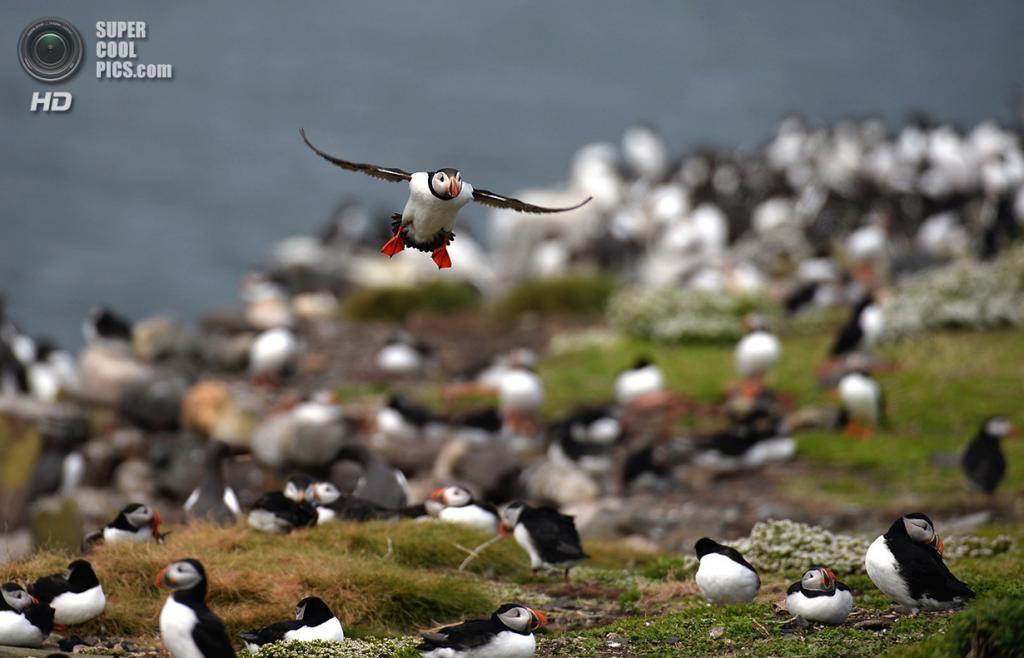 Великобритания. Фарне, Нортамберленд, Англия. 16 мая 2013 года. Атлантические тупики, прилетающие на летние гнездовья. (Jeff J Mitchell/Getty Images)