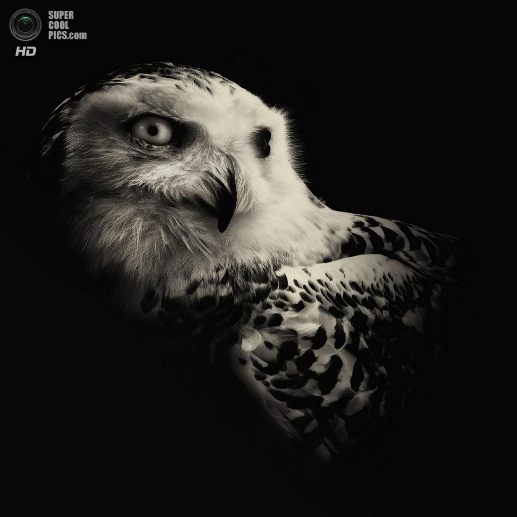 Белая сова. (AlexTeuscher/BNPS)
