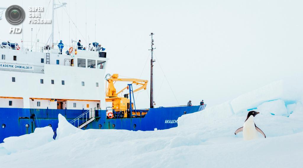 Антарктида. Пингвин Адели на фоне «Академика Шокальского». (Andrew Peacock/AFP PHOTO)