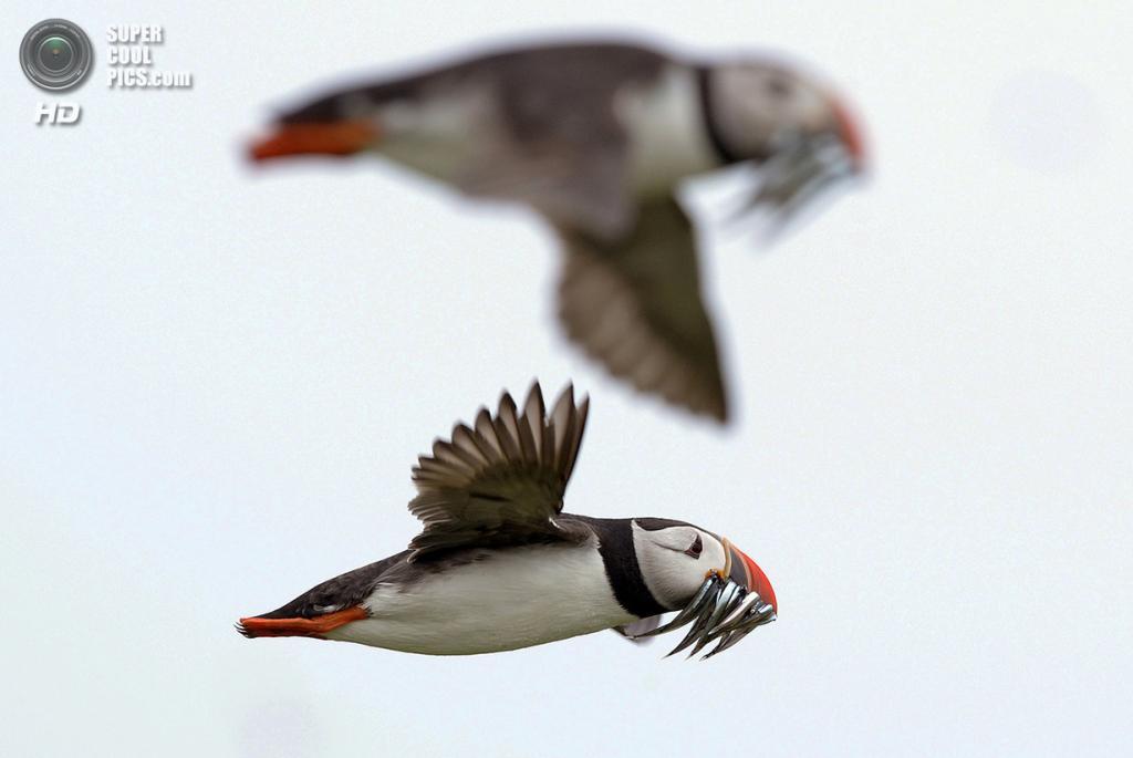 Великобритания. Фарне, Нортамберленд, Англия. 8 июля 2013 года. Атлантические тупики несут улов для птенцов. (REUTERS/Nigel Roddis)