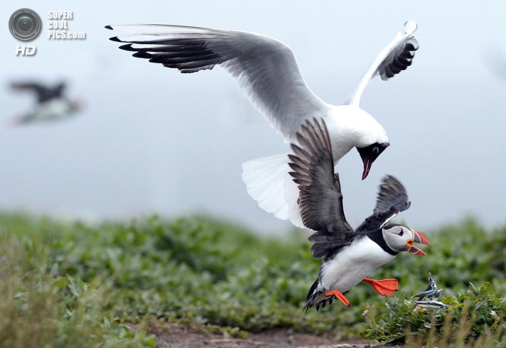 Великобритания. Фарне, Нортамберленд, Англия. 8 июля 2013 года. Неожиданная атака чайки ради горсти песчанок. (REUTERS/Nigel Roddis)