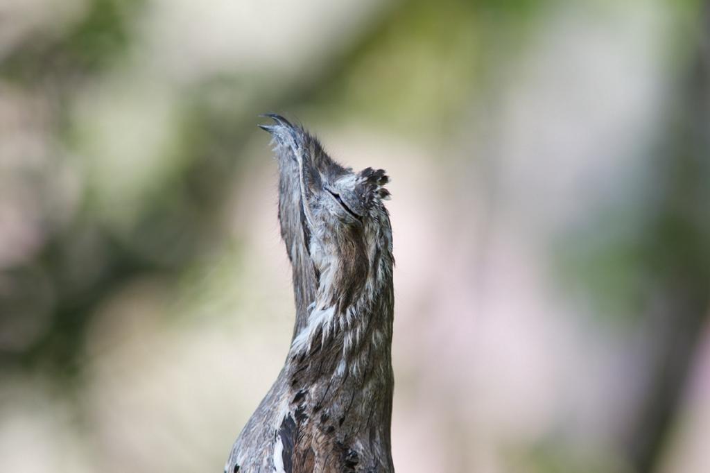 Common Potoo, Nictibes griseus