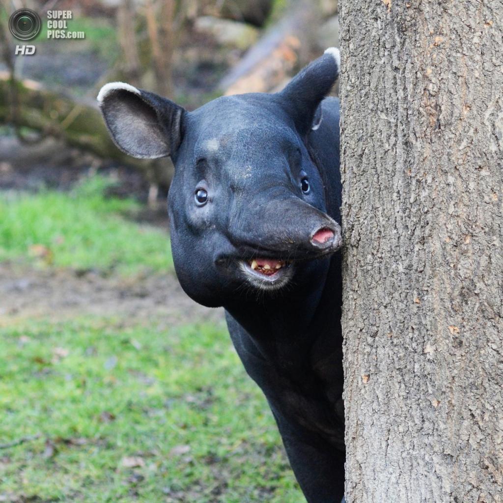 Тапиры. (Michael Komm)