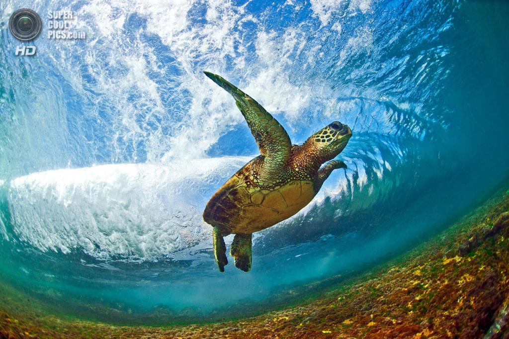 «Морской орёл». Редкая зелёная черепаха покоряет волны. (Clark Little)