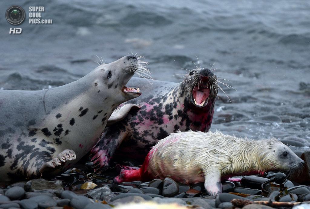 Великобритания. Фарне, Нортамберленд, Англия. 18 ноября 2013 года. Самка защищает своё потомство от агрессивной соседки. (REUTERS/Nigel Roddis)