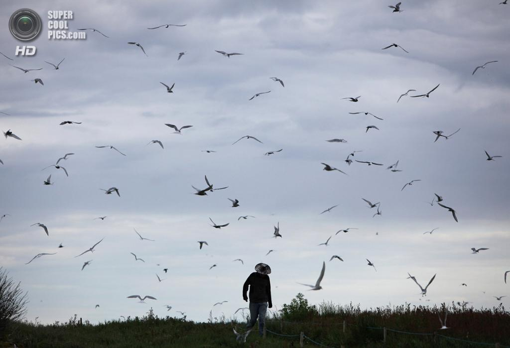 Великобритания. Фарне, Нортамберленд, Англия. 24 июня 2011 года. Сторож ходит по территории гнездовий полярных крачек. (Dan Kitwood/Getty Images)