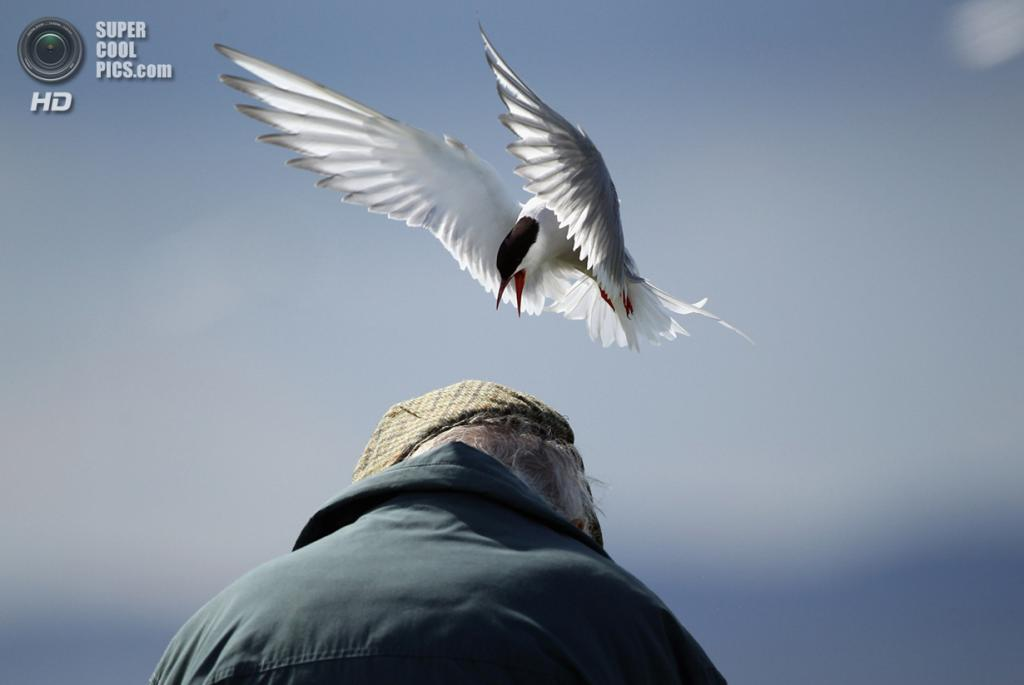 Великобритания. Фарне, Нортамберленд, Англия. 25 июня 2011 года. Полярная крачка клюет «незваного гостя». (Dan Kitwood/Getty Images)