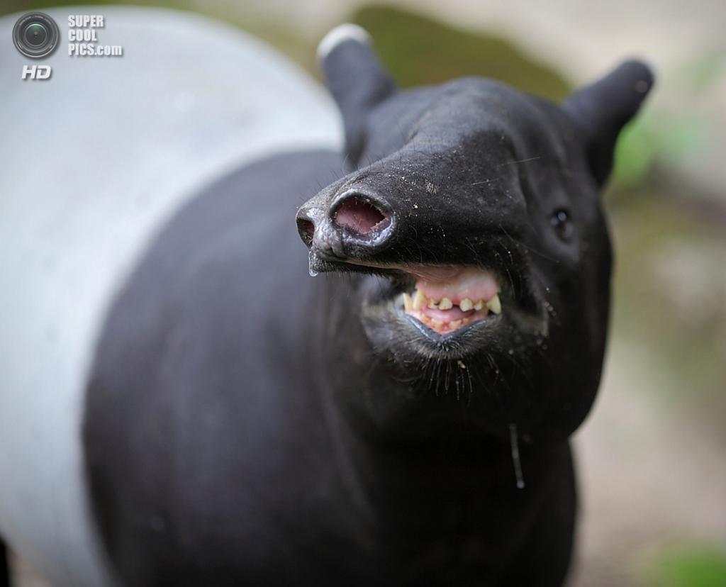 Тапиры. (m s)
