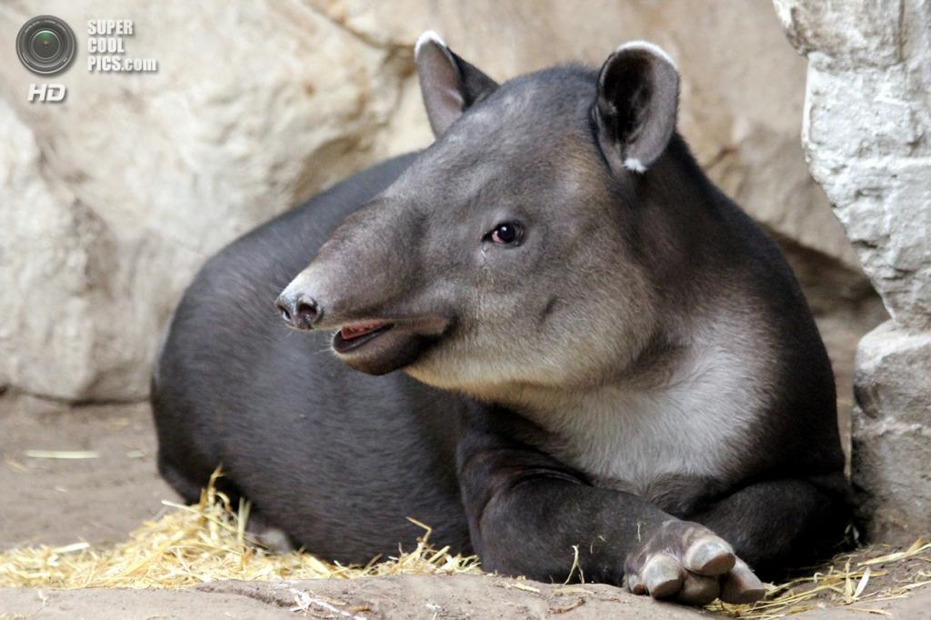 Тапиры. (nhpanda)