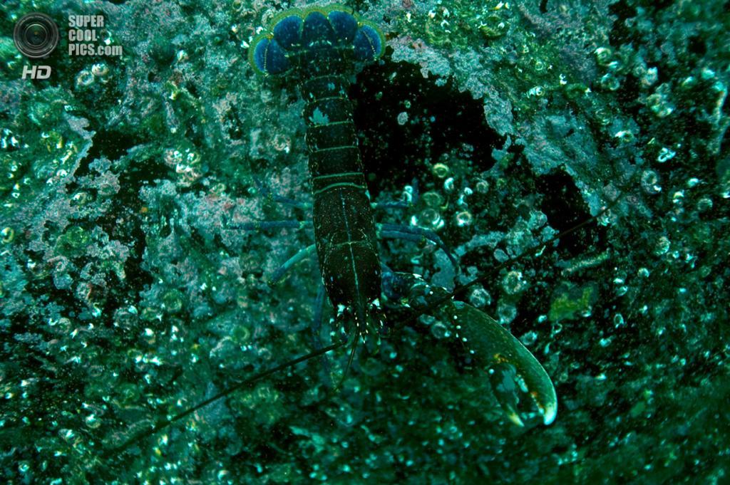 Великобритания. Фарне, Нортамберленд, Англия. 25 июня 2011 года. Омар, сливающийся с камнями. (Dan Kitwood/Getty Images)