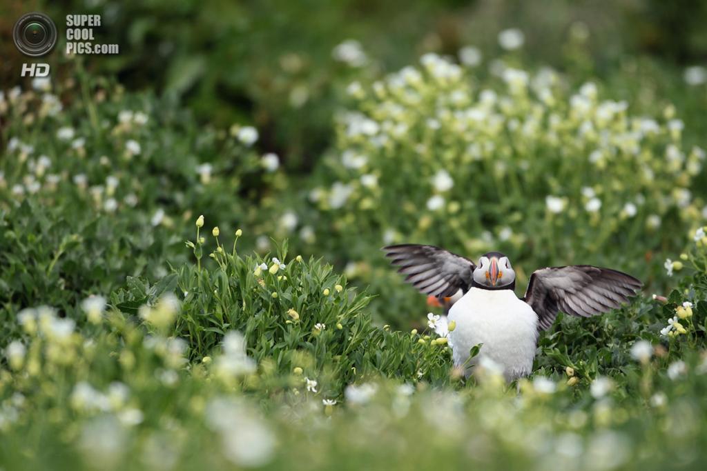Великобритания. Фарне, Нортамберленд, Англия. 24 июня 2011 года. Атлантический тупик хлопает крыльями. (Dan Kitwood/Getty Images)