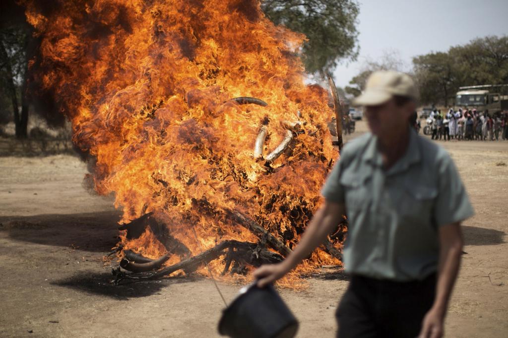 50-летие национального парка Закума отметили сожжением тонны слоновой кости (10 фото)