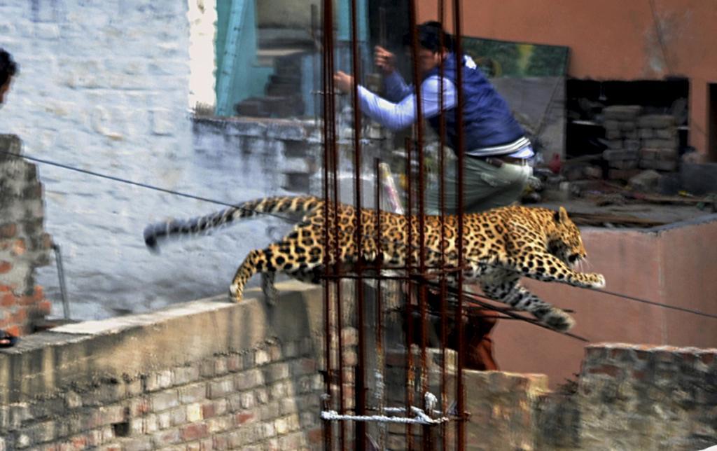 Леопард атаковал жителей города Мератх (5 фото)