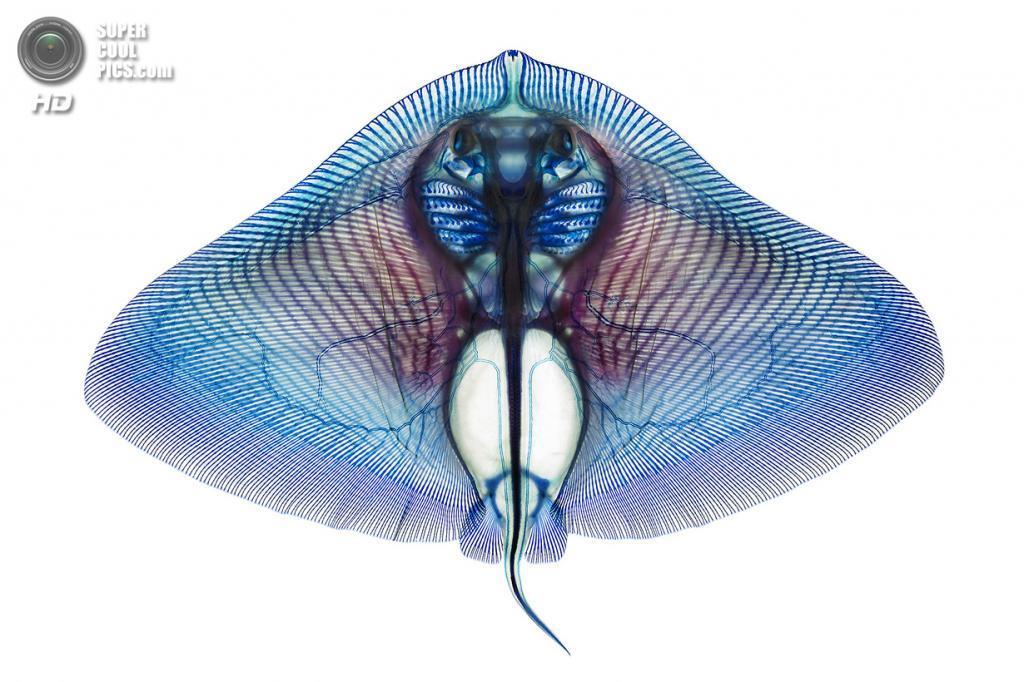 Скат-бабочка Gymnura crebripunctata. (Adam Summers)