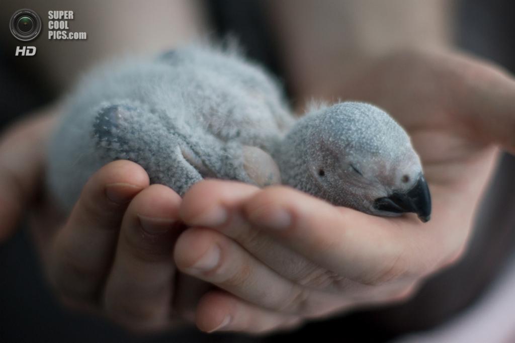 Жако, или серый попугай. (Papooga)